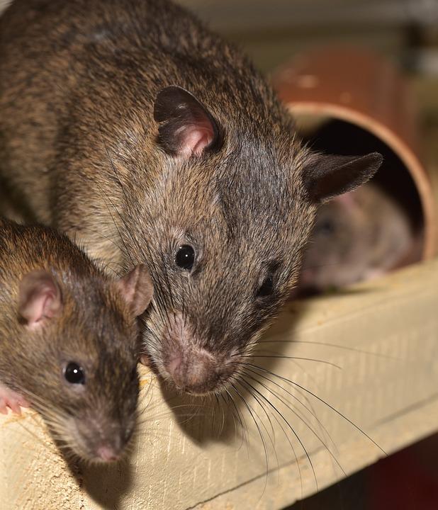 Rat Problem in London